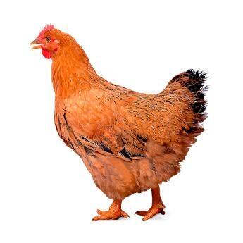 温氏 华润食品 供港老母鸡 1Kg *6件