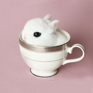 宠物活体 西施兔 茶杯兔 海棠侏儒兔  白色 1只