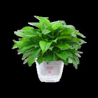綠航綠蘿 水培綠蘿盆栽