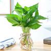 大綠蘿盆栽室內 常青藤水培植物包郵吊蘭花卉大葉長藤清新空氣綠籮 1套玻璃瓶綠蘿(送麻繩)