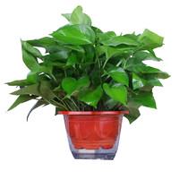 金尉長藤綠蘿室內花卉盆栽吊蘭植物吸甲醛凈化空氣水培綠植大綠籮