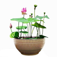 醉花枝四季開花種植碗蓮種子 混色30粒
