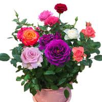 玫瑰花苗四季開花大花綠植物盆栽室內外花卉觀花庭院陽臺薔薇月季 紫萱 *5件