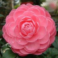 天龍八部 曼陀山莊同款山茶花盆栽 五年苗(當年開花帶花苞 *3件