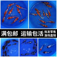 10月11日0點純種日本淡水紅白觀賞錦鯉