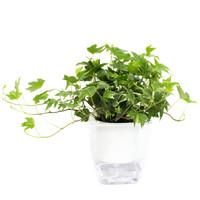 花七休 银边常青藤 透明自吸水塑料花盆 花卉绿植盆栽 室内居家桌面阳台办公室绿植