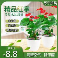 盆栽花卉红掌粉掌白掌花室内水培花卉盆栽植物绿植