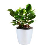 花七休 小碧玉 自吸水白色花盆 花卉绿植盆栽 室内居家桌面阳台办公室绿植