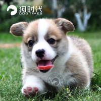 狗时代 柯基幼犬活体 威尔士柯基犬 黄白
