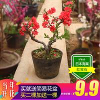 四季桂花金桂芳香花卉 海棠花3年生 多分支