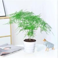 土著森林 文竹盆栽 含盆