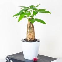 品盛 綠植盆栽 帶自吸水盆