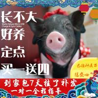 寵物豬活體健康包活迷你小香豬小寵物荷蘭豬天竺鼠小動物 小香豬(母1只)