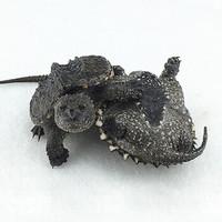 北美小鱷龜 6-8cm 2只