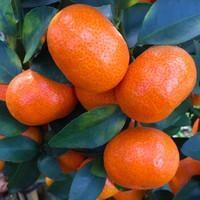砂糖橘 蜜甜砂糖桔 新鮮沙糖橘子水果薄皮桔子 果園現摘現發帶箱 10斤中果