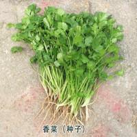 香菜種子 10 克 試種裝(散裝)