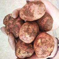 靖鲜生 云南红皮小土豆 10斤装