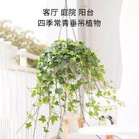 Hodo 紅豆園藝 常春藤盆栽垂吊水培植物