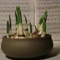 荷蘭水仙種球8個+盆+土+菌