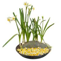 世紀奧橋 漳州水仙花 水培植物水仙種球 冬季植物球根花卉