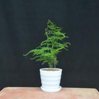 韻沃 辦公室綠植文竹 10~15cm(含螺紋盆)