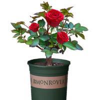 玫瑰花苗 羅拉 5年苗