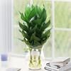 觀音竹盆栽水養綠植 觀音竹3株 鵝蛋花邊瓶