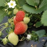 移動專享 : 大鳩寶 草莓苗四季草莓苗 8顆 (含盆)