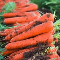柠七 农家现挖红萝卜 10斤