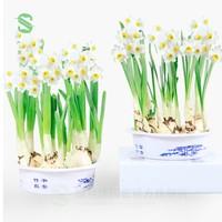 绿丝绦 水仙种球 3个装 (含盆和营养液) *2件