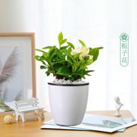 醉花枝 梔子花 桌面綠植 2盆裝