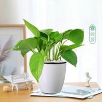 2盆裝盆栽辦公室梔子花富貴綠蘿花卉小盆栽