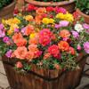 四季播種好養庭院花園綠化易活開花不斷花種籽子