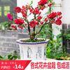 重瓣海棠花苗花卉盆栽不含盆,多款可選
