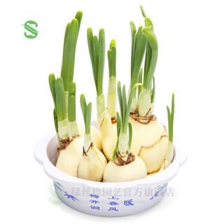 绿丝绦 水仙花种球 水仙种球3个+营养液+盆1个