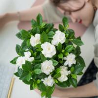 栀芯 室内绿植栀子花(带盆) *2件