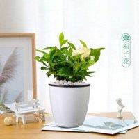 醉花枝 栀子花 桌面绿植 2盆装