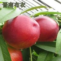 晋南布衣 现摘黄心油桃 5斤装