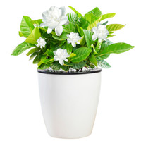 Hodo 红豆 栀子花 办公室桌面绿植(含盆) *3件