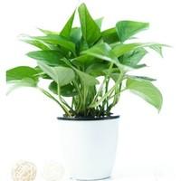 品盛 绿萝 绿植盆栽 (带吸水盆)