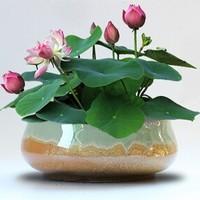 花无痕 风信子 四季花卉盆栽 混色碗莲水培套装