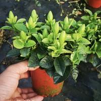 栀芯 室内绿植栀子花 (简易盆)