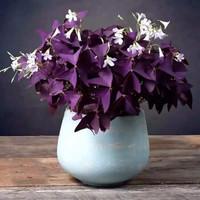 绿植盆栽 紫叶酢浆草 种球 8个 (盆+营养土+肥料)