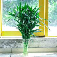 柚琳 水培植物富贵竹 60cm 5支
