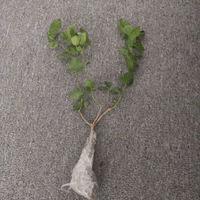 AISIDUN 爱思顿 小盆茉莉花 2-3棵 少量开花