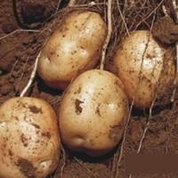 QINHANSHEEP 青汉羊 新鲜土豆 带箱10斤