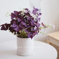 紫叶酢浆草盆栽 8个(1盆+营养土+肥料)