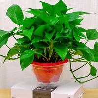 柚琳 绿萝盆栽 4盆装+2肥