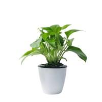 茵琦纱 绿箩 水培绿植