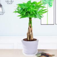 沁苑 发财树盆栽 (45-55厘米辫子发财树 +白色螺纹盆)